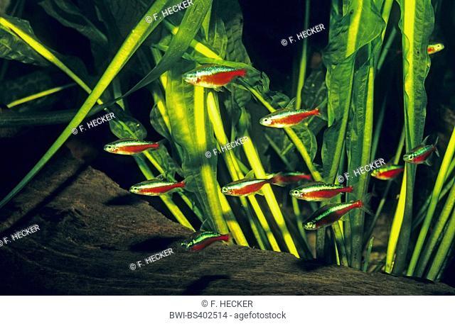 Cardinal tetra (Paracheirodon axelrodi, Cheirodon axelrodi, Hyphessobrycon cardinalis), school