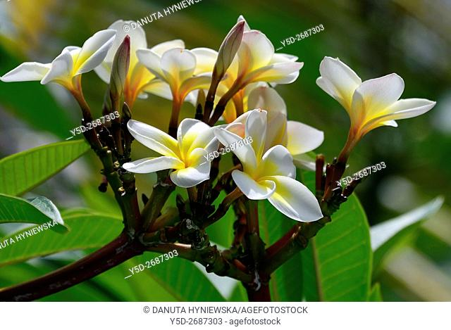Plumeria, Frangipani flower, blossom, Blue Bay, Grand Port district, Mauritius, Africa