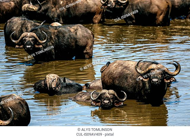 Herd of cape buffalo in water, Kruger National Park, South Africa