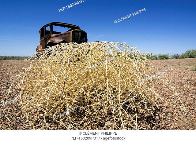 Old rusty car and Prickly Russian Thistle / Tumbleweed (Kali tragus / Salsola tragus / Salsola iberica) which formes round bushes that will dry and then and...