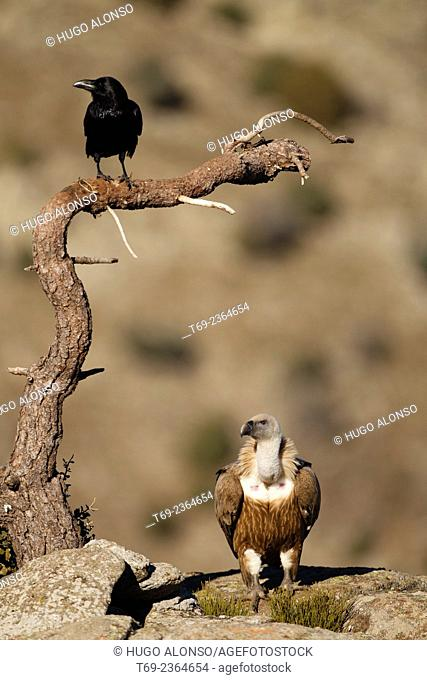 griffon vulture Gyps fulvus and Common raven Corvus corax