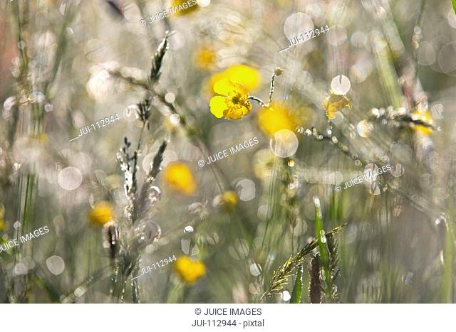 Sunny and dewy yellow buttercup wildflowers growing among grass
