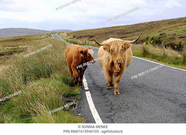 Highland Cattle, Trotternish Peninsula, Isle of Skye, Scotland, Great Britain / Hochlandrinder, Trotternish Halbinsel, Isle of Skye, Schottland, Großbritannien