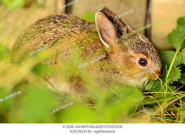 Varying hare (Lepus americanus) baby eating strawberry leaves beside a wooden planter, Greater Sudbury, Ontario, Canada