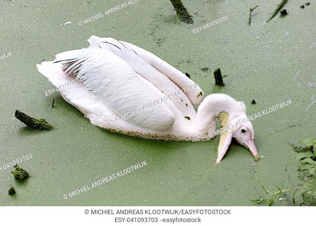 Swimming pelican in dirty water, selective focus
