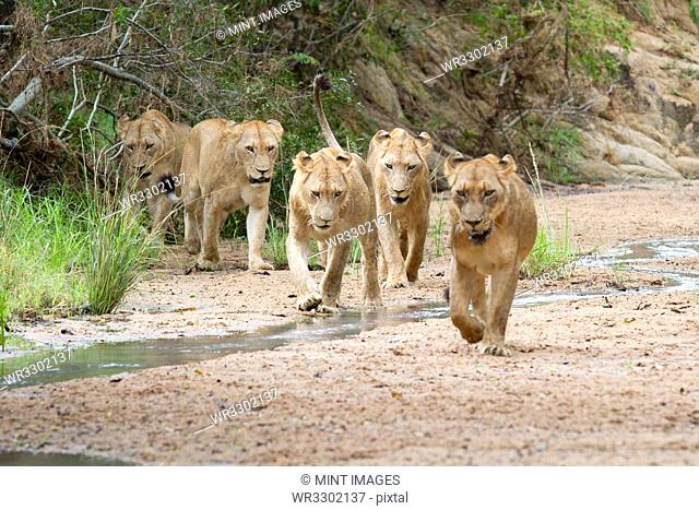 A pride of lions, Panthera leo, walk in a river bed towards camera, looking out of frame, ears back