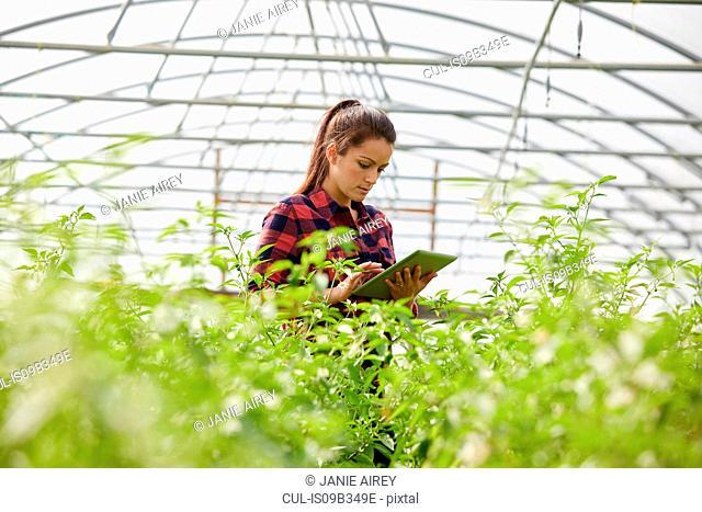 Woman in polytunnel using digital tablet