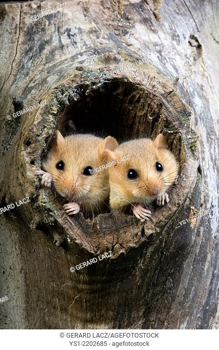 Common Dormouse, muscardinus avellanarius, Pair standing at Nest Entrance, Normandy