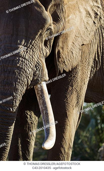African Elephant (Loxodonta africana) - Close-up of a bull. Kruger National Park, South Africa