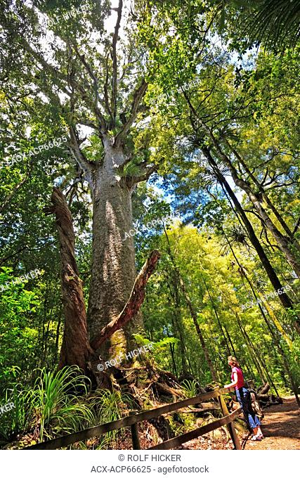 Large Kauri Tree (Agathis australis), along the Bush Walk in Waipoua Forest, Northland, North Island, New Zealand