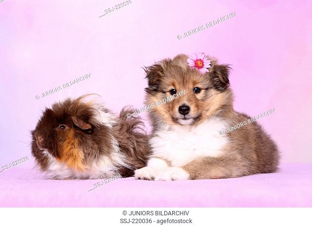 Shetland Sheepdog. Puppy (6 weeks old) and a long-haired guinea pig lying next to each other. Studio picture against a pink background