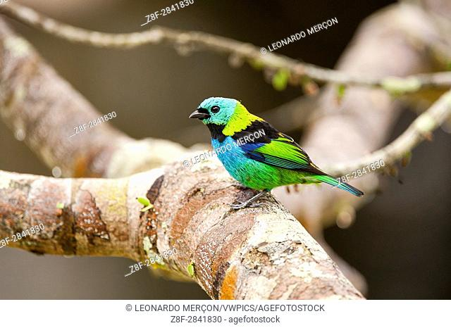 Close-up of a Green-headed Tanager (Tangara seledon) perched on a tree branch, photographed in Sooretama, Espírito Santo, Brazil.