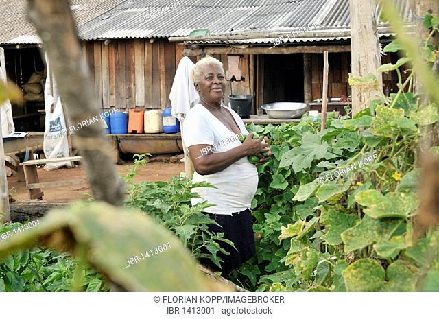 Old peasant farmer harvesting cucumbers in the vegetable garden in front of her hovel, landless camp Acampamento 12 de Otubro