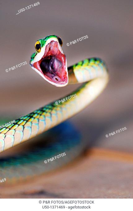Nonvenomous snake Colubridae, Acre, Brazil, 2010  50 cm lenght close-up