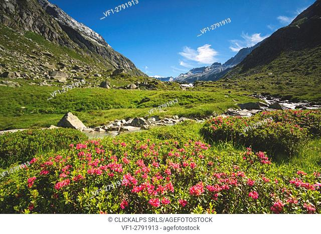 Rhododendrons in Adame' valley, Adamello park, Brescia Province, Lombardy, Italy