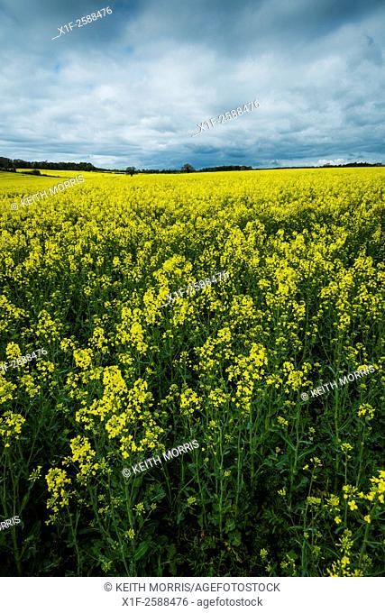 Monoculture agriculture: Fields of the distinctive yellow blossoms of oilseed rape (canola) plants in fields outside Cirencester, Gloucestershire, England UK