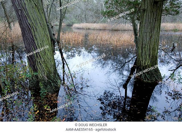 Atlantic White Cedars (Chamaecyparis thyoides) NJ, Mullica River; Pinelands National Reserve