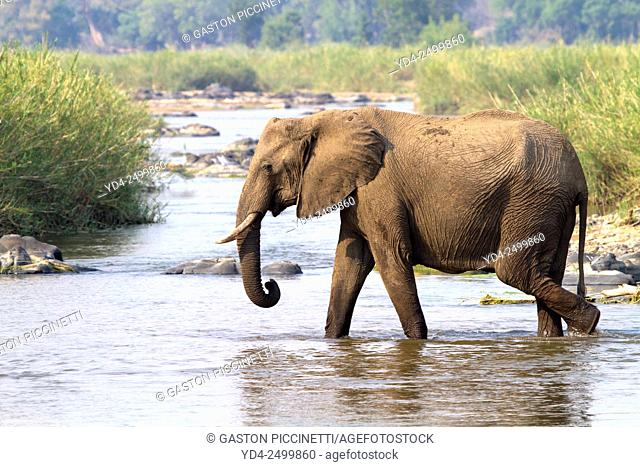 African Elephant (Loxodonta africana), crossing the Olifants river, Kruger National Park, South Africa