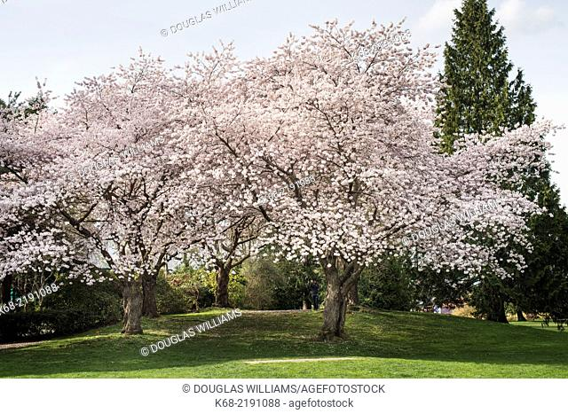 cherry trees in spring near Granville Island, Vancouver, BC, Canada