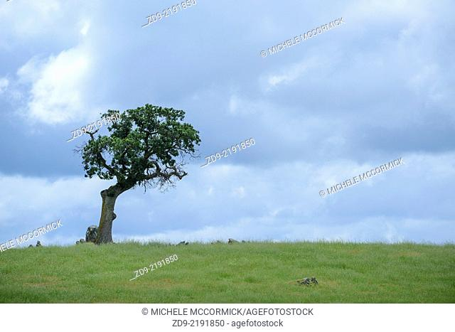 A lone oak tree stand against a dramatic sky