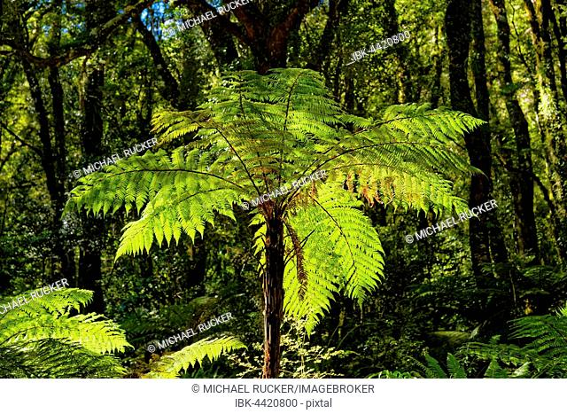 Tree ferns (Cyatheales), tropical rainforest, Milford Sound, Fiordland National Park, Te Anau, South Island, New Zealand