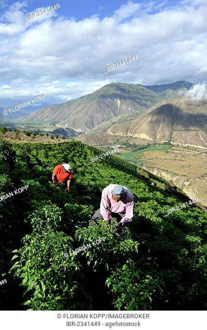 Farmers working on an irrigated field growing peppers (Capsicum annuum) in the Andean highlands, African-Ecuadorian community of La Loma, Paroquia Concepcion