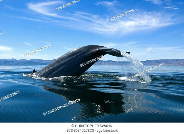 Blue whale Balaenoptera musculus Gulf of California A diving blue whale hoists its tail high into the midday sky