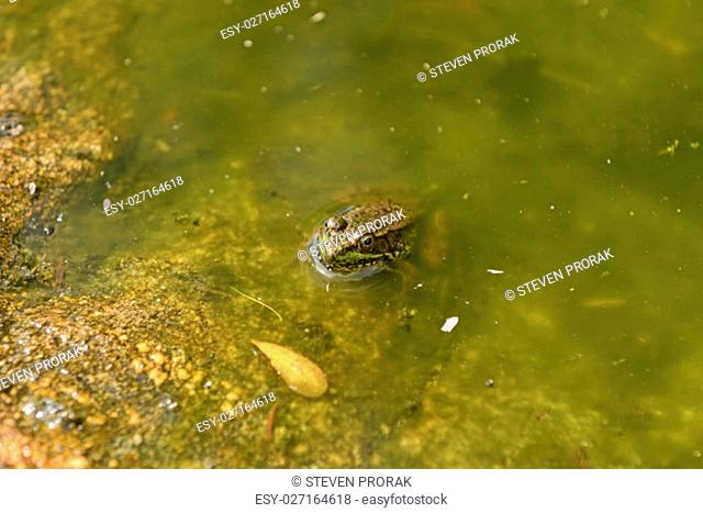 Green Frog in a Forest Pool in Quetico Provincial Park in Ontario