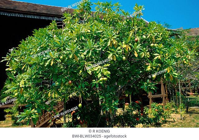 grey milkwood, Odallum tree, dog-bane Cerbera manghas, Cerbera odollam