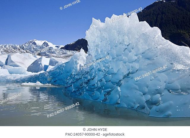 Tongass Forest, Alaska, Recently calved from the terminus of Mendenhall Glacier in Mendenhall Lake, an iceberg reveals the blue ice glaciers are so well known...