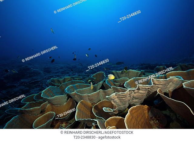 Coral Reef with Lettuce Coral, Turbinaria mesenterina, Kai Islands, Moluccas, Indonesia