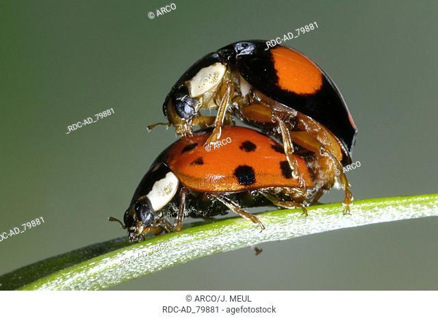 Multicolored Asian Lady Beetles pair Harmonia axyridis Multicolored Asian Lady Bird