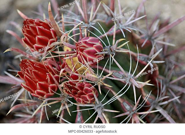Fishhook Barrel Cactus (Ferocactus wislizenii) flowers, El Vizcaino Biosphere Reserve, Mexico
