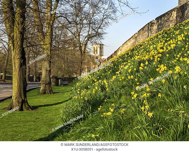 The city walls in spring with York Minster in the distance York Yorkshire England
