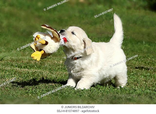 Golden Retriever. Puppy (female, 7 weeks old) playing with a toy duck. Germany