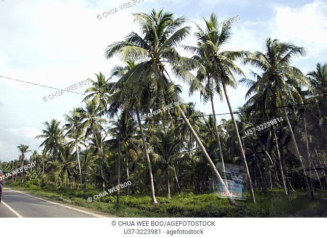 Coconut plantation by the Mempawah street, West Kalimantan, Indonesia