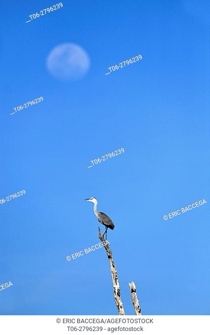 Grey heron (Ardea cinerea) perched on dead branch with moon in the background. Lake Kariba, Matusadona National Park, Zimbabwe