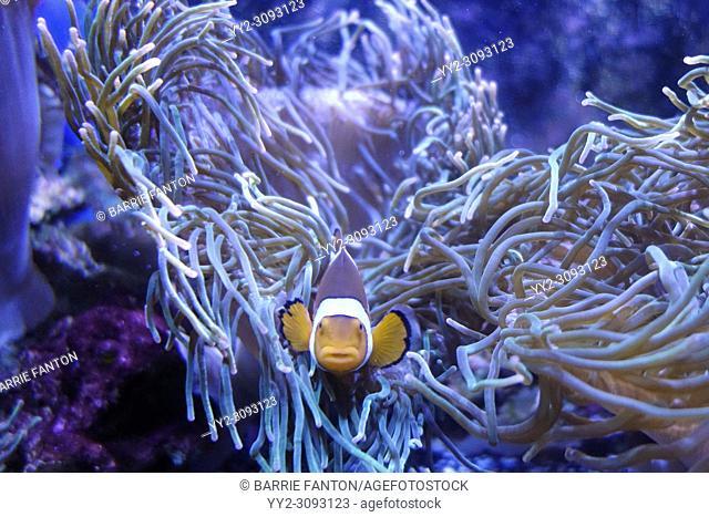 Clown Fish and Anemone, Aquarium of Niagara, Niagara Falls, New York, USA