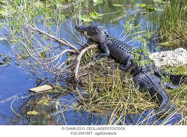 Everglades National Park, Florida. American Alligator Resting in the Mid-day Sun