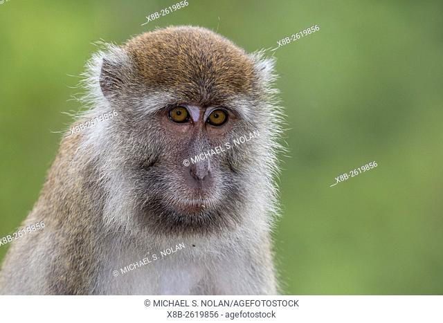 Long-tailed macaque, Macaca fascicularis, Bako National Park, Borneo, Malaysia