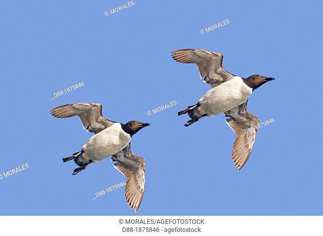 Norway , Spitzbergern , Svalbard , Thick-billed Murre or Brünnich's Guillemot Uria lomvia , in flight