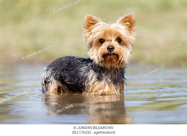 Yorkshire Terrier standing in shallow water
