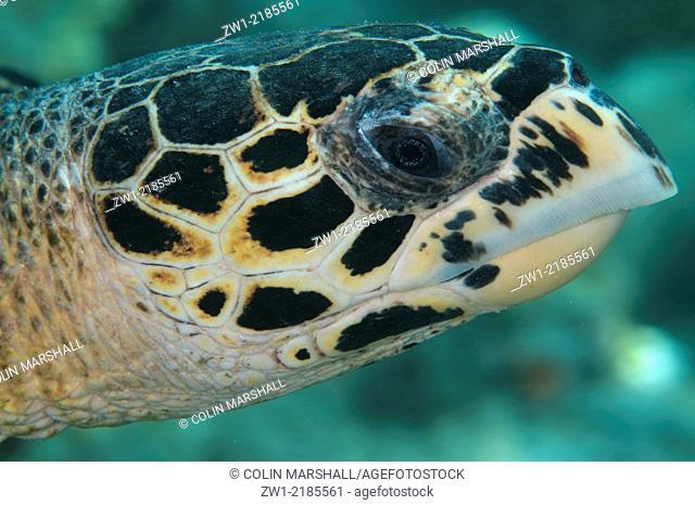 Detail of head of Green Turtle (Chelonia mydas) at Sipadan Island in Borneo (Kalimantan) in Malaysia