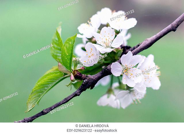 Blossoming tree – cherry