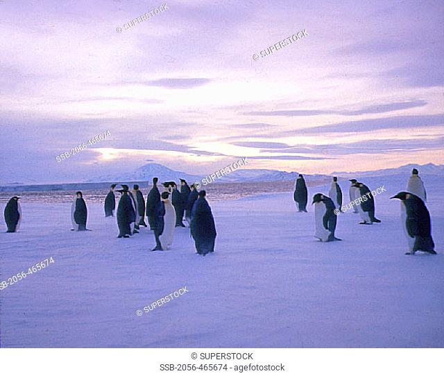 Emperor Penguins, The Ross Ice Shelf, Antarctica