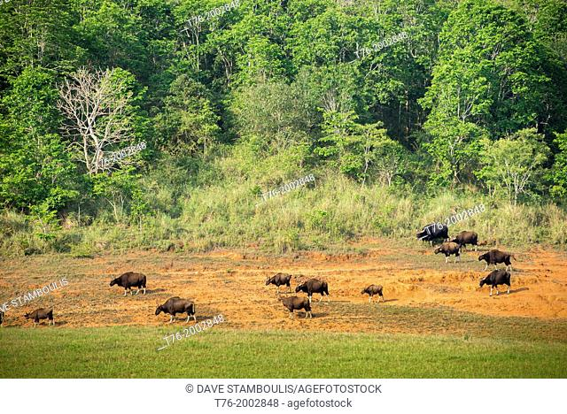 herd of gaur(Bos gaurus) in the Periyar Tiger Reserve in Kerala, India