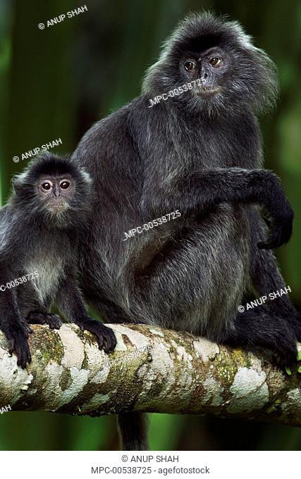 Silvered Leaf Monkey (Trachypithecus cristatus) female and juvenile in tree, Bako National Park, Sarawak, Borneo, Malaysia