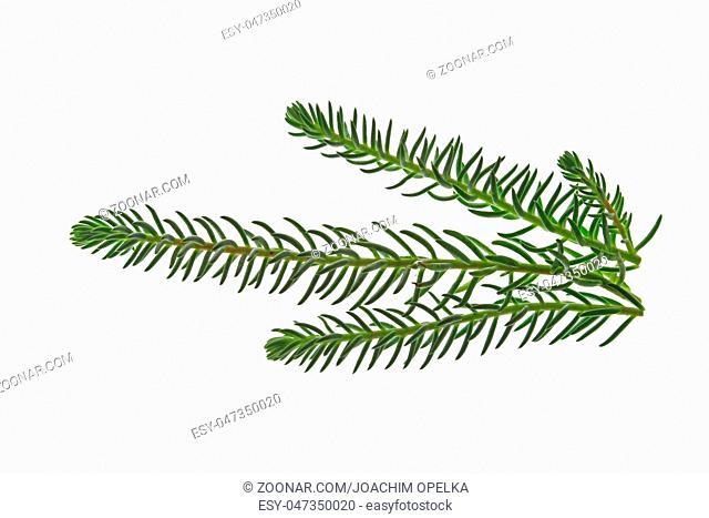 Tripmadam (Sedum reflexum, syn. Sedum rupestre) freigestellt vor weißem Hintergrund Reflexed stonecrop (Sedum reflexum, syn
