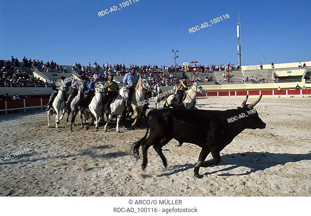 Rider on Camargue Horses and bull at the Festival du cheval in arena Les-Saintes-Maries-de-la-Mer Provence Southern France Reiter auf Camargue-Pferden und...