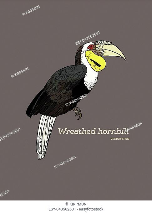 Vector illustration. Hand drawn realistic sketch of a Wreathed Hornbill